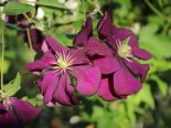 Clematis 'Etoile Violett', 60-100 cm, Clematis viticella 'Etoile Violett', Containerware