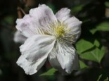 Clematis 'Giant Star', 60-100 cm, Clematis montana 'Giant Star', Containerware