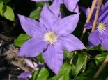 Clematis 'H. F. Young'