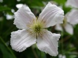 Clematis viticella 'Hagelby White'