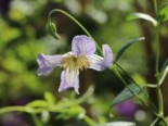 Clematis viticella 'Hanna'