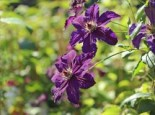 Clematis 'Happy Birthday', 60-100 cm, Containerware