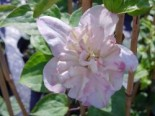 Waldrebe 'Innocent Blush', 60-100 cm, Clematis 'Innocent Blush', Containerware