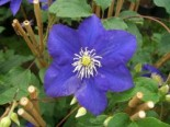 Clematis 'Kingfisher' TM Evipo 037 (N)