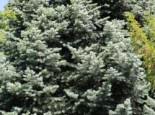 Colorado-Tanne/Grautanne, 40-60 cm, Abies concolor, Containerware