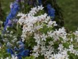 Dolden-Glockenblume 'Alba', Campanula lactiflora 'Alba', Topfware