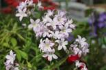 Dolden-Glockenblume 'Loddon Anne', Campanula lactiflora 'Loddon Anne', Topfware