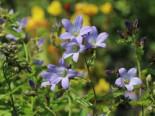 Dolden-Glockenblume 'Prichard's Variety', Campanula lactiflora 'Prichard's Variety', Topfware