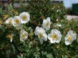 Dünenrose / Bibernellrose, 15-30 cm, Rosa pimpinellifolia, Topfware