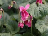 Duft-Veilchen 'Miracle Classy Pink', Viola odorata 'Miracle Classy Pink', Topfware