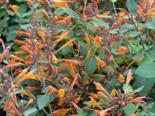Duftnessel 'Apricot Sprite', Agastache aurantiaca 'Apricot Sprite', Topfware