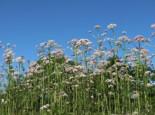 Echter Apotheker-Baldrian, Valeriana officinalis, Topfware
