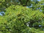 Echter Korkbaum, 60-100 cm, Phellodendron amurense, Containerware