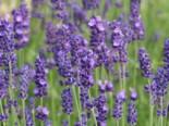 Echter Lavendel, Lavandula angustifolia, Topfware