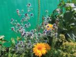 Flachblatt-Mannstreu, Eryngium planum, Topfware