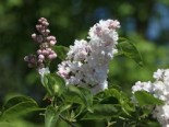Edelflieder 'Beauty of Moscow', 20-30 cm, Syringa vulgaris 'Beauty of Moscow', Topfware