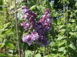 Edelflieder 'Katharine Havemeyer', 40-60 cm, Syringa vulgaris 'Katharine Havemeyer', Containerware