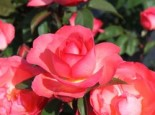 Edelrose 'Aachener Dom' ®, Rosa 'Aachener Dom' ®, Containerware