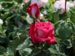 Edelrose 'Acapella' ®, Rosa 'Acapella' ®, Containerware