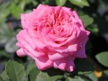 Edelrose 'Ashley' ®, Stamm 90 cm, Rosa 'Ashley' ®, Stämmchen