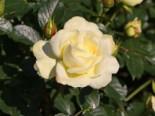 Edelrose 'Avec Amour' ®, Rosa 'Avec Amour' ®, Wurzelware