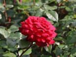 Edelrose 'Bellevue' ®, Rosa 'Bellevue' ®, Wurzelware