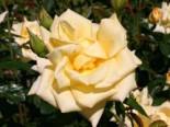 Edelrose 'Berolina' ®, Rosa 'Berolina' ®, Containerware