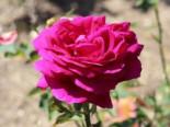 Edelrose 'Big Purple' ®, Rosa 'Big Purple' ®, Wurzelware