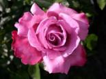 Edelrose 'Blue River' ®, Rosa 'Blue River' ®, Wurzelware