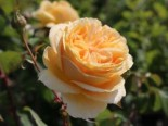 Rosa 'Candlelight' ®