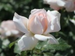 Edelrose 'Chandos Beauty' ®, Rosa 'Chandos Beauty' ®, Containerware