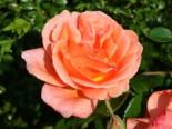 Edelrose 'Cherry Brandy' ®, Rosa 'Cherry Brandy' ®, Containerware