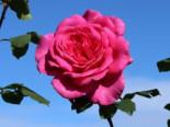 Edelrose 'Duftrausch' ®, Rosa 'Duftrausch' ®, Containerware