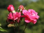 Edelrose 'Eliza' ®, Rosa 'Eliza' ® ADR-Rose, Containerware