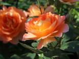 Edelrose 'Fairest Cape' ®, Rosa 'Fairest Cape' ®, Wurzelware