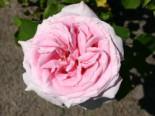 Edelrose 'Frederic Mistral' ®, Rosa 'Frederic Mistral' ®, Wurzelware