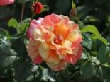 Edelrose 'Fruite' ®, Rosa 'Fruite' ®, Containerware