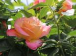 Edelrose 'Inspiration' ®, Rosa 'Inspiration' ® ADR-Rose, Containerware