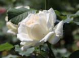 Edelrose 'Irina' ®, Rosa 'Irina' ®, Wurzelware