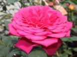 Edelrose 'Johann Wolfgang von Goethe Rose' ®, Rosa 'Johann Wolfgang von Goethe Rose' ®, Containerware