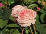 Edelrose 'Lady Capri', Rosa 'Lady Capri', Containerware