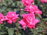 Edelrose 'Lady Like' ®, Rosa 'Lady Like' ®, Containerware