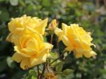 Edelrose 'Landora' ®, Rosa 'Landora' ®, Containerware