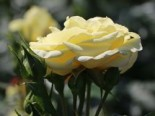 Edelrose 'Limona' ®, Rosa 'Limona' ®, Wurzelware