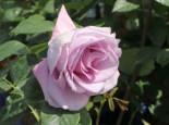 Edelrose 'Mainzer Fastnacht' ®, Rosa 'Mainzer Fastnacht' ®, Wurzelware