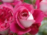 Nostalgie®-Edelrose 'Maxim' ®, Rosa 'Maxim' ® ADR-Rose, Containerware
