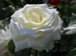 Edelrose 'Memoire' ®, Rosa 'Memoire' ®, Containerware