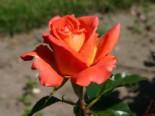 Edelrose 'Monica' ®, Rosa 'Monica' ®, Wurzelware