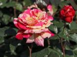 Edelrose Nirparfum Rose 'Broceliande', Rosa 'Broceliande', Containerware