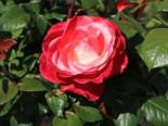 Edelrose 'Nostalgie' ®, Rosa 'Nostalgie' ®, Containerware